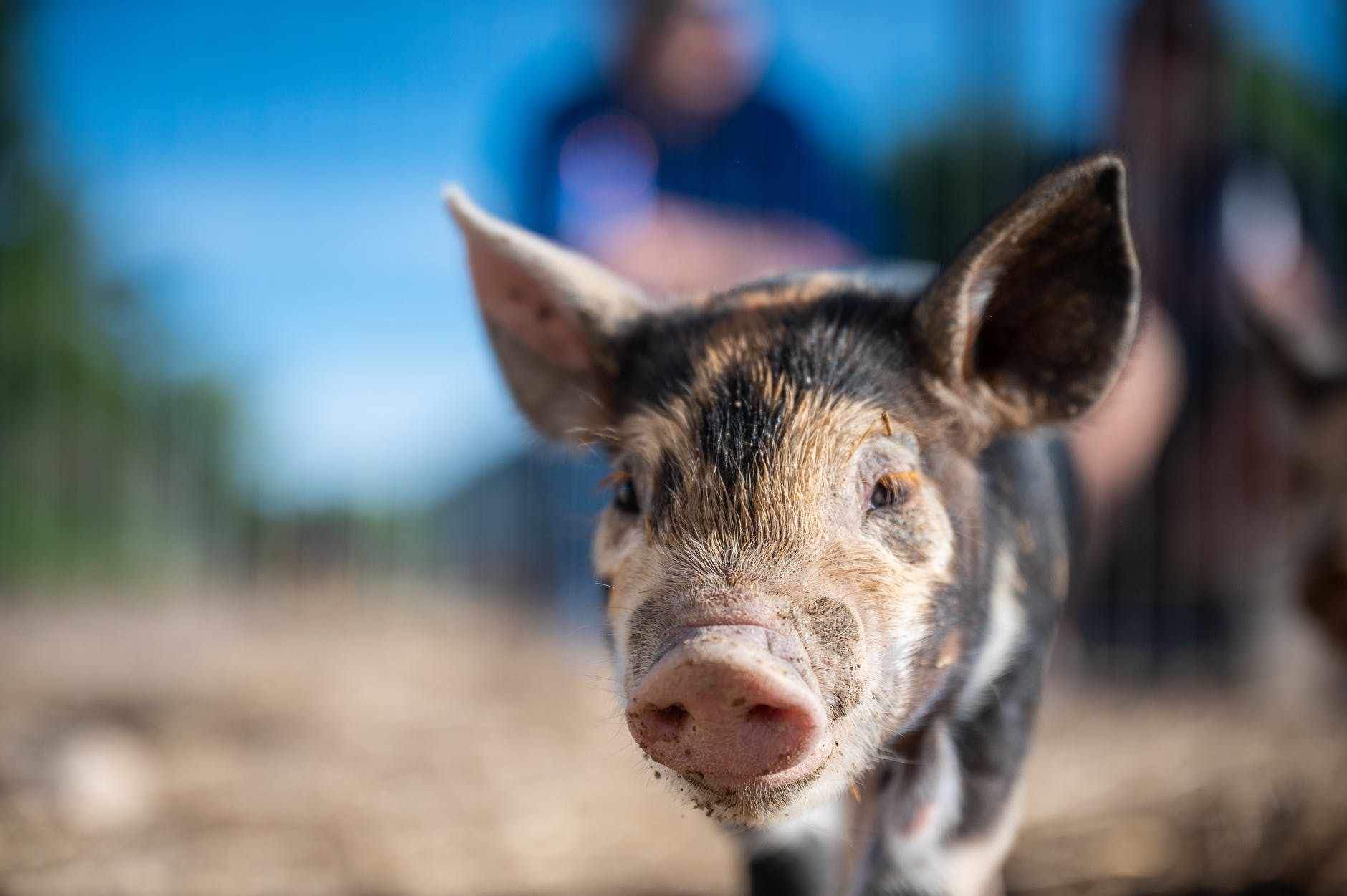 curious little piglet walking on sunny farmland